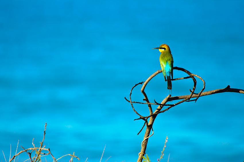 Ein Rainbow Bee-eater