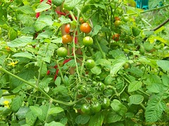 Lots of cherry tomatoes