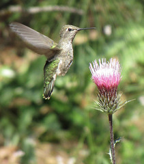 anna's hummer & anderson's thistle