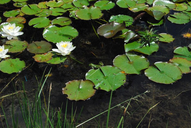 Water Lilies and Frog