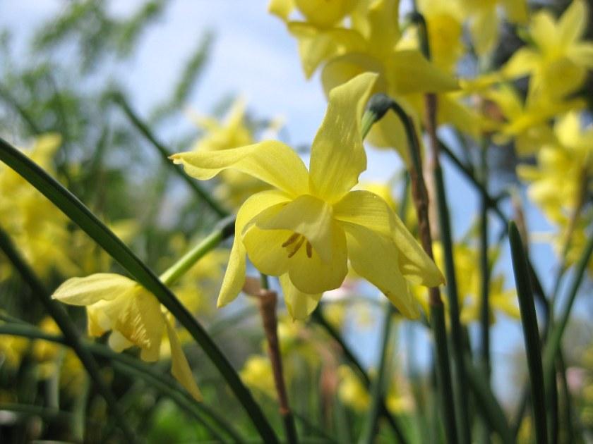 Narcissus 'Hawera' av ptc24, på Flickr