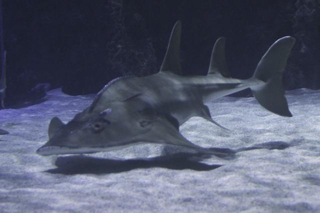 Shark Ray 2