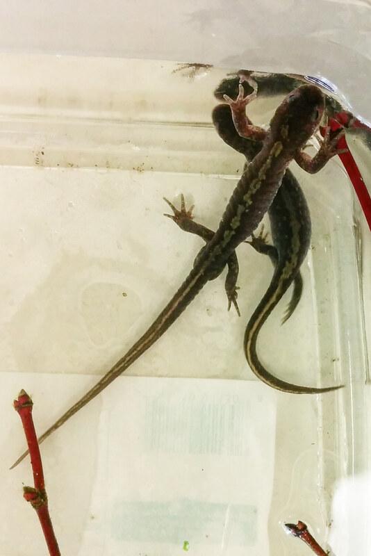 Long-toed Salamanders (Ambystoma macrodactylum)