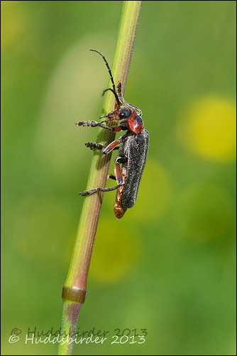 Soldier Beetle 24/52