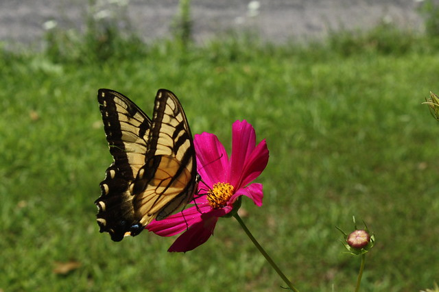 Tiger Swallowtail on a cosmo