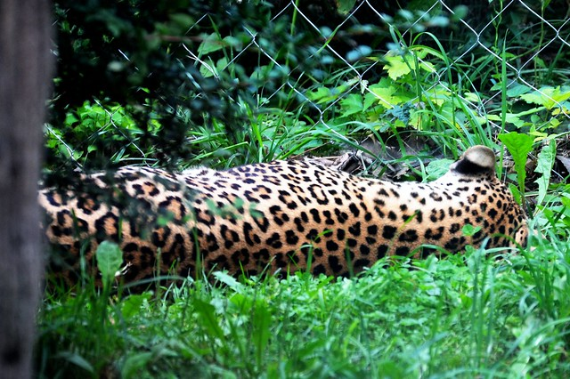 Leopard Back