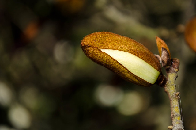 the brown, velvety bud of Magnolia leavigata 'Strybing Compact'