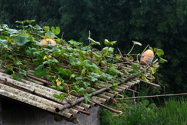 Sapa - Pumpkin growing on house roof