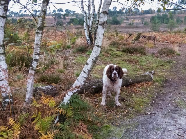 Max on Canford Heath