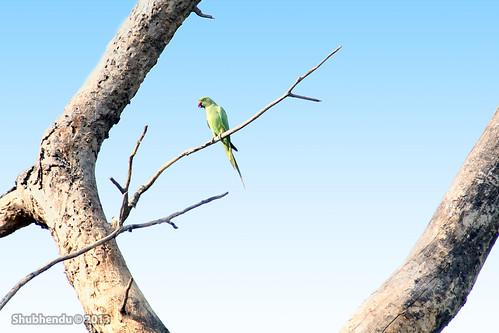 ring-necked parakeet by ShubhenduPhotography