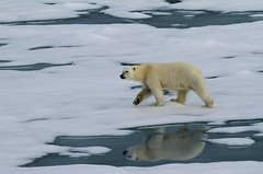 Young female polar bear, approaching the ship