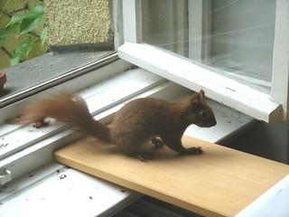 Eichhörnchen zähmen 7