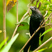 Smooth-billed Ani, Garapatero
