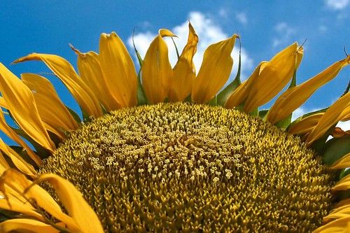 Sunflower Blue by Richard Le Sauvage