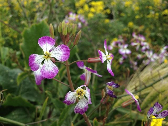 Wild radish flowers