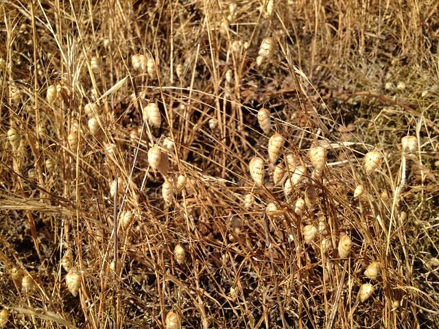 Quaking grass/rattlesnake grass