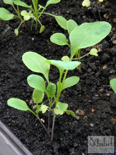 Choy sum, a month after germination