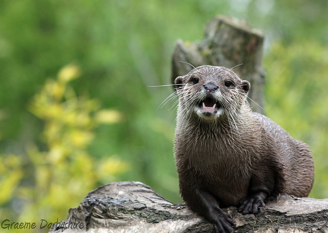 river otter on a gnarled log, mouth half open as if holding forth in a soapbox speech