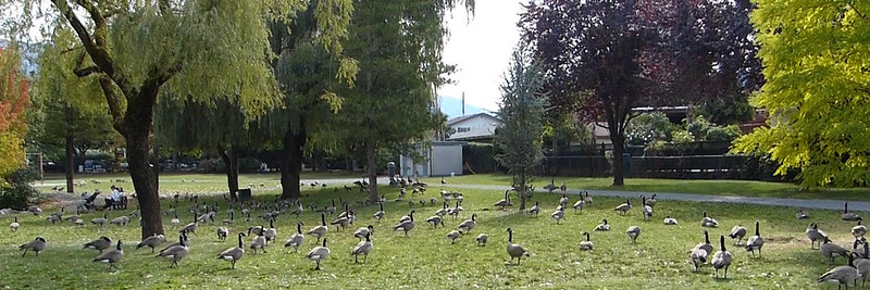 Canada Geese - Sardis Park