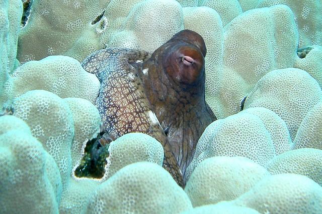 coral peeker