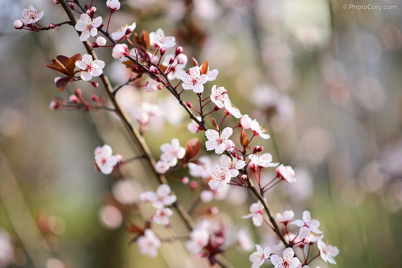 pomi infloriti martie