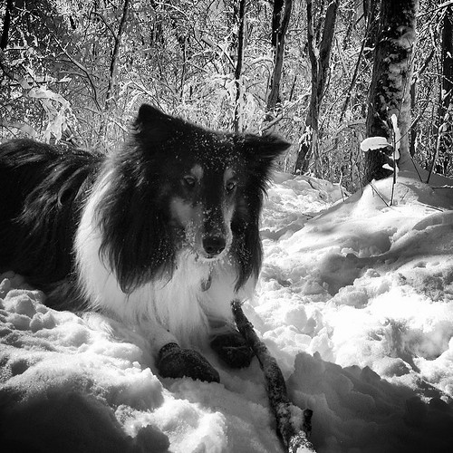 Snow. Ice. Stick. Happy dog. (in B & W)