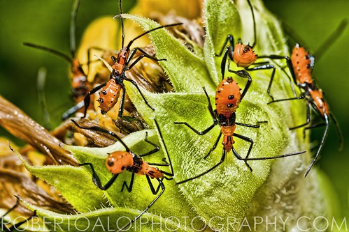 Leaf footed bug nymphs by Roberto_Aloi