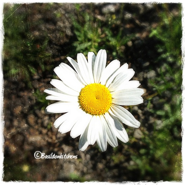June 3 - seasonal {the first daisy of the season} #TitleFx #photoaday #season #daisy #wildflower #flowers