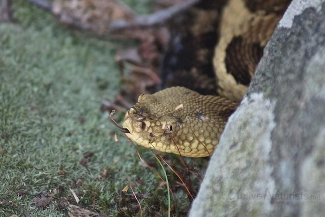 rattlesnake 0004 Harriman State Park, NY, USA