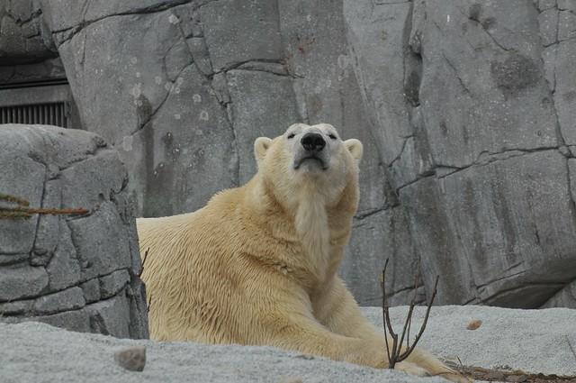 Eisbär Boris (Iwan) im København Zoo
