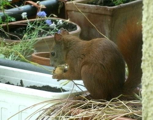 Eichhörnchen mit Keks 1