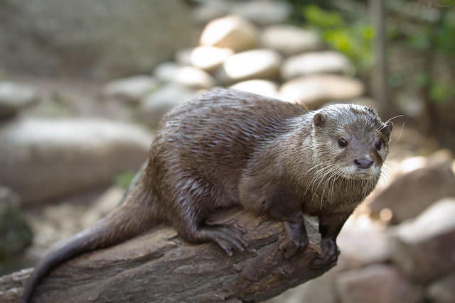 bright-eyed otter standing at the end of a log, as if about to pounce on something