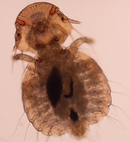 Goniocotes gallinae the fluff louse