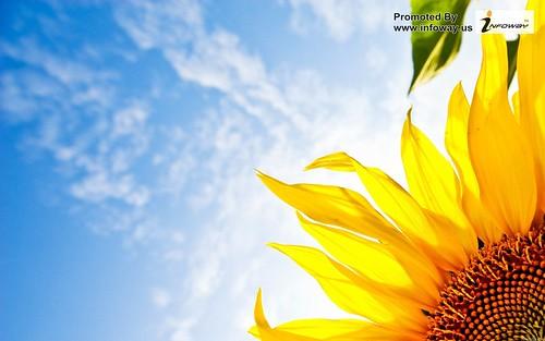 hd wallpapers sunflower