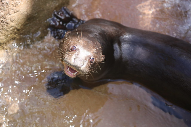 Giant river otter leaning up on a wall, its head and shoulders out of the water. It has giant paws and a very goofy grin.