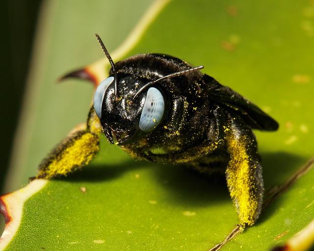 Carpenter Bee (Xylocopa sp., Apidae)