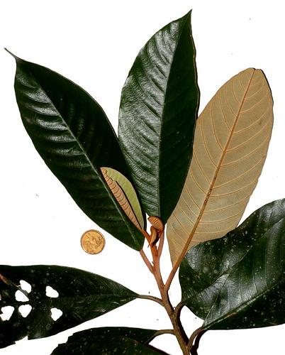 Alphitonia whitea DSC_0041