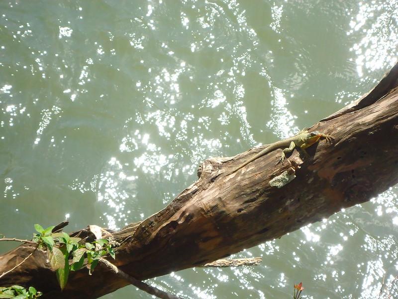 Lagarto de Iguazú
