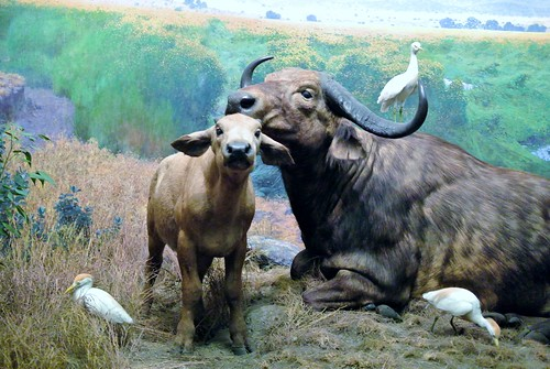 Water buffalo and cattle egrets