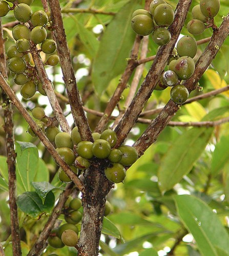 Pittosporum resiniferum, the Kerosene Fruit.