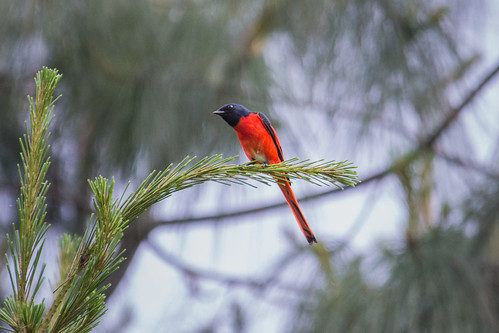 Long-tailed Minivet (male)