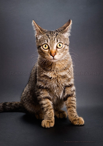 Cat portrait, studio shot.