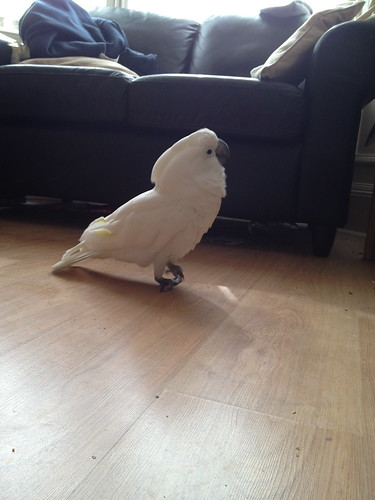 Cockatoo2