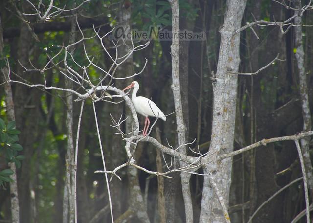 american white ibis 0002 Everglades, Florida, USA