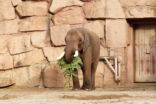 The Elephants got Christmas trees, too!