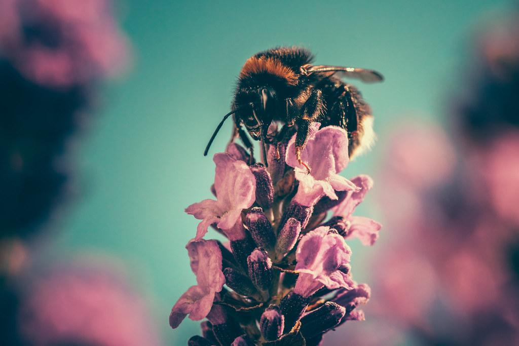 Imagen gratis de una abeja en una flor