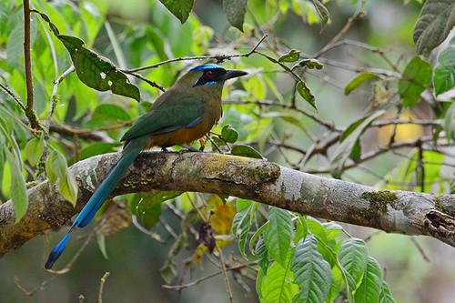 Panama: Whooping Motmot