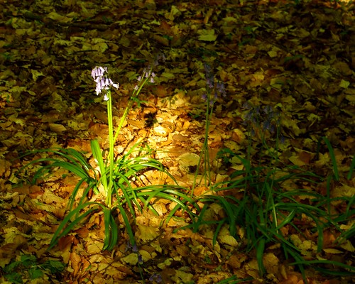 20130519-10_Cawston Bluebell Woods by gary.hadden