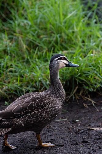 Duck walk by nifwlseirff