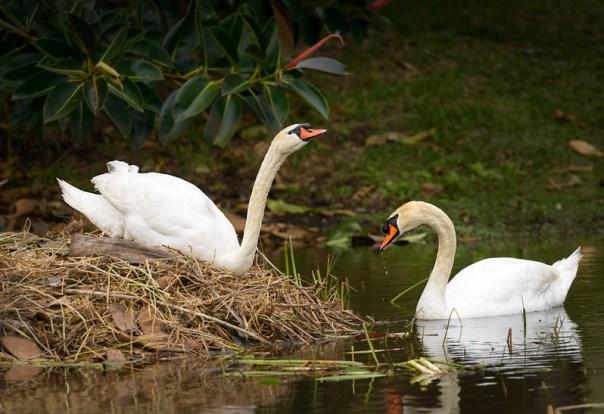 Mute Swans (nesting pair)